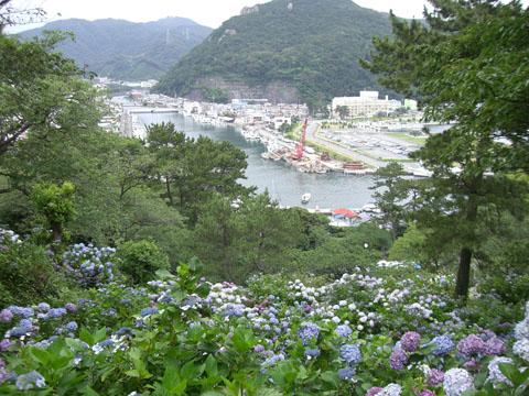 港あじさい2.jpg